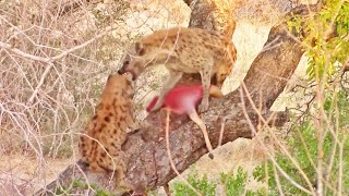Download Why Hyenas Shouldn't Climb Trees Video