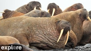 Download Walrus Cam - Round Island powered by EXPLORE.org Video