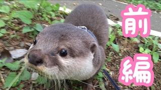 Download カワウソさくらが外の世界を駆け回る!(前編) Walk with otter ① Video
