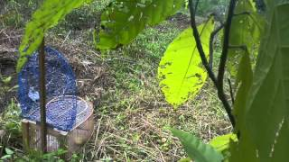 Download Pikat Burung Ciblek Liar Pake Jebakan Kandang Video