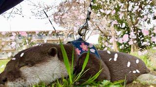 Download カワウソさくら 花より団子!?さくらと桜を見に行った! Otter and cherry blossoms Video