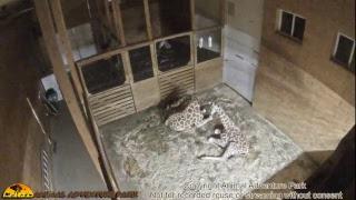 Download Giraffe Cam - Animal Adventure Park Video