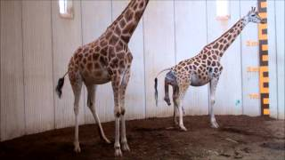 Download Giraffengeboorte in GaiaZOO Video