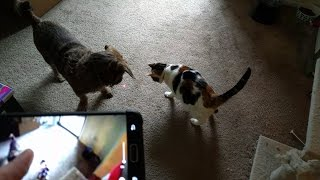 Download Petcube Play Unboxing, Setup, and Demonstration! (Remote Wi-Fi Pet Camera) Video