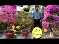 Download How to make a Bougainvillea bonsai Video