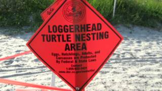 Download Loggerhead Turtle Migration Video