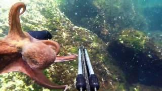 Download Polvo Choco Navalheira. Caça submarina 2016. Spearfishing GoPro. Подводная охота 2016. Video