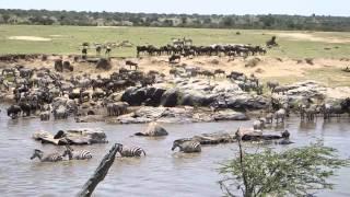 Download Wildebeest Crossing the Mara River Sept 2014 Video