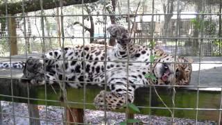 Download Kiya the snoring leopard Video