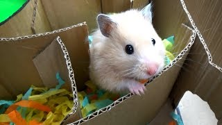Download Hamster in Hamster-shaped Labyrinth Video