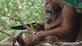 Download Robot Orangutan Vs Wild Orangutan Sawing Duel Video
