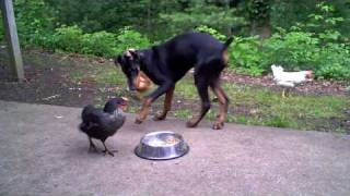 Download Chicken learns the true nature of the Doberman Pinscher Video