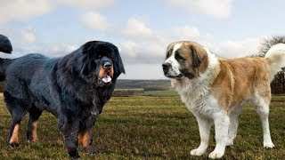 Download Tibetan Mastiff vs Moscow Watchdog - Strongest and Best Guard Dogs Video