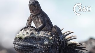 Download Filming Iguana vs Snakes - Behind the Scenes 360° - Planet Earth II Video