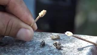 Download Lutte contre le varroa, les apiculteurs se mobilisent (Émission 2017/28) Video