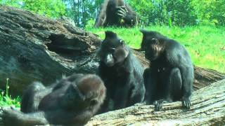 Download INTERACTION BETWEEN GORILLAS AND MANGABEYS Video