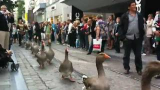 Download Geese Parade in Belgium Video