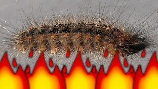 Download Stinging Caterpillar Becomes Ant Colony Food Flamethrower Pest Control BBQ Bugs Video