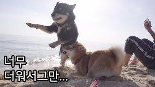 Download 물 싫어하는 강아지! 너무 더워서 바다에 뛰어들었어요 / 시바견 곰이 탱이 Shibainu Video