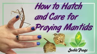 Download How to Hatch and Care for Praying Mantids Video
