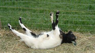 Download Best of Fainting Goats   EpicVirals   [HD] Video
