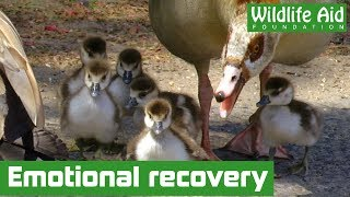 Download When it all goes wrong - Amazing goose rescue Video