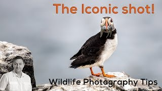 Download Wildlife Photography Tips - The Iconic shot! PUFFIN & FISH Video