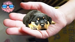 Download Top 10 SMALLEST Dog Breeds Video