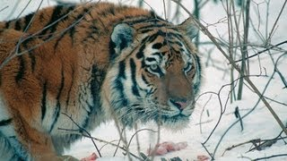 Download Amur Tiger in the Third Millennium Full-HD Video