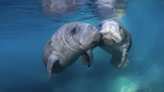 Download Florida Travel: How to Swim With Manatees in Crystal River Video