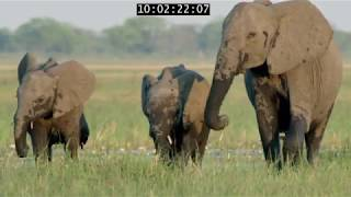 Download Elephant: King Of The Kalahari Video