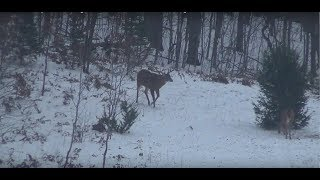 Download Awesome Compilation of 60 Big Game Kills and Hunts in Northern Michigan Video