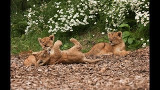 Download Lion Cub Cam | Live From Our Lion Enclosure Video