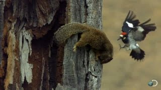 Download Woodpecker Fends Off Squirrel | North America Video