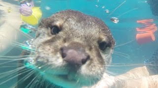 Download People Swim With Otters For The First Time Video