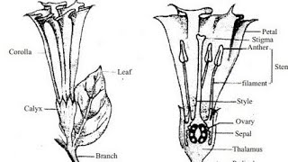 Download How to draw Datura flower / Draw and label the parts of a flower Video