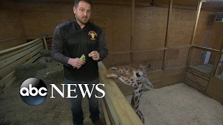 Download 'April' the giraffe expected to give birth soon Video