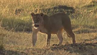 Download The making of safariLIVE migration series 2017 Video
