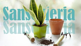 Download Snake Plant (Sansevieria): propagation, care, transplanting of colorful species Video