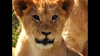 Download Adventures with the Lion Cubs | Little Big Cat | BBC Video