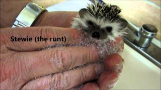 Download Bath Time for 5 week old baby hedgehogs Video