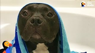 Download Scared Pit Bull Dog Gets Sister Who Changes His Life | The Dodo Video