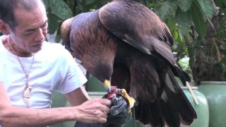 Download Golden Eagle Training, First Step After Maning Video
