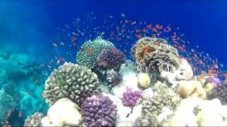 Download Sanganeb Reef, Sudan Video