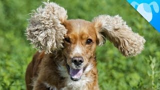 Download Cocker Spaniel Facts Video