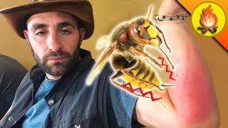 Download Giant Hornet KNOCKS OUT Coyote! Video