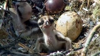 Download Bird Cams - Sibling Rivalry Video