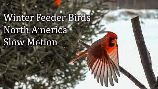 Download Slow Motion North American Feeder Birds Cardinal Chickadee Junco Nuthatch Sparrow Video