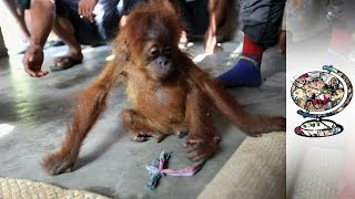 Download Wildlife Is Under Threat From Palm Oil Plantations In Indonesia Video