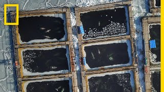 Download Nearly 100 Captive Orcas and Belugas at Risk of Drowning, Freezing to Death | National Geographic Video